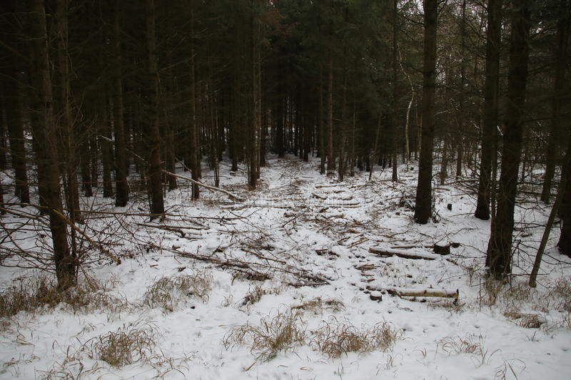 Path to the pine grove with snow. Waiting for spring royalty free stock image