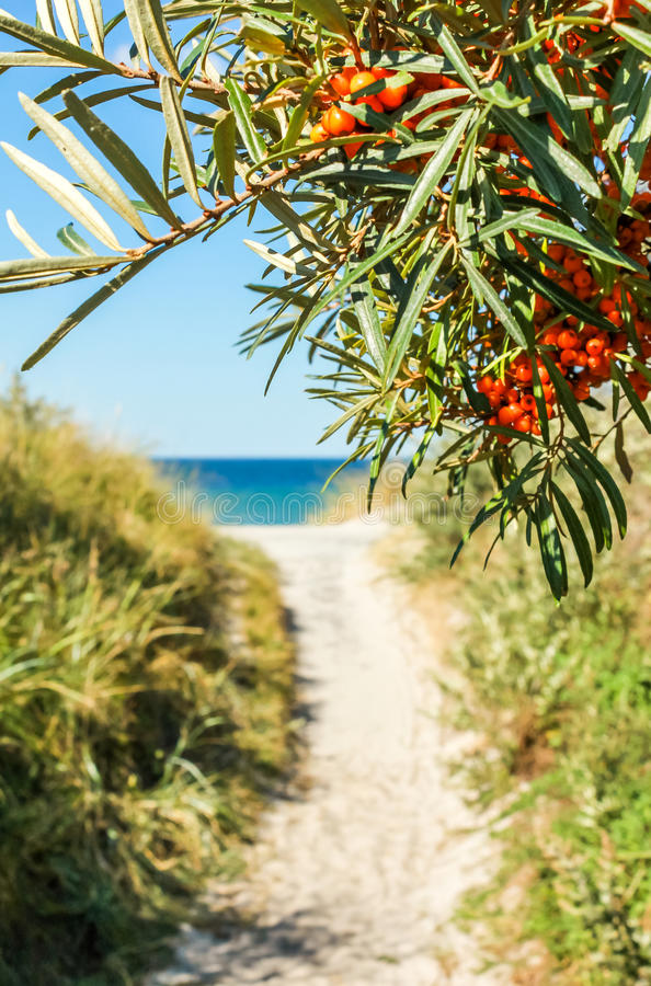 Path to sand beach lined with buckthorn. Baltic Sea, Hiddensee. royalty free stock photos