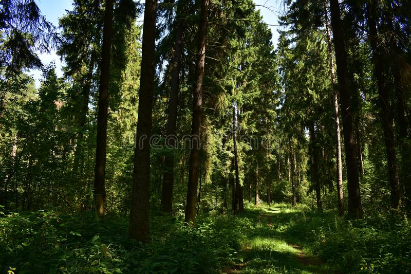 The path between the trees in the forest among the tall royalty free stock photography