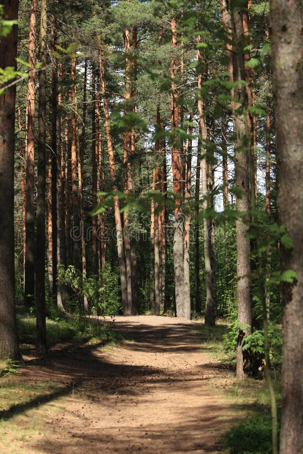 Path among trees in a pine forest. In summer on a sunny day royalty free stock photo