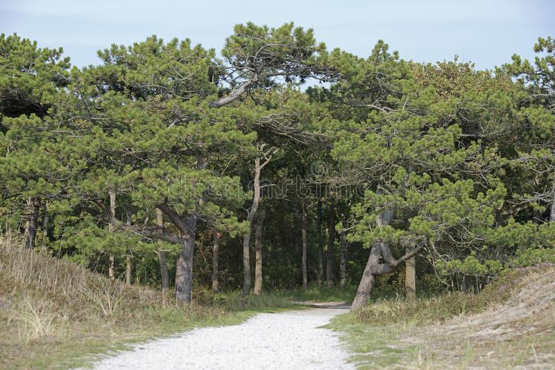 Path trough pine forest Texel. The Netherlands royalty free stock photo