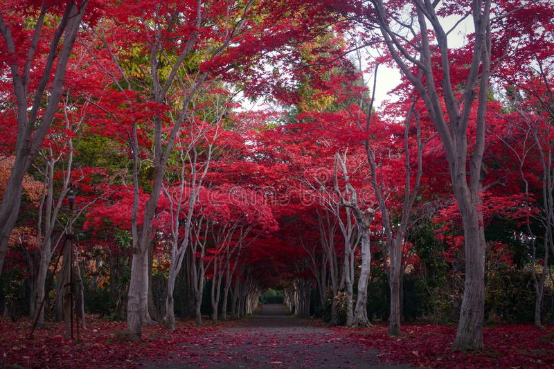 Path through a tunnel of crimson red maple trees during autumn in Sapporo, Japan stock images