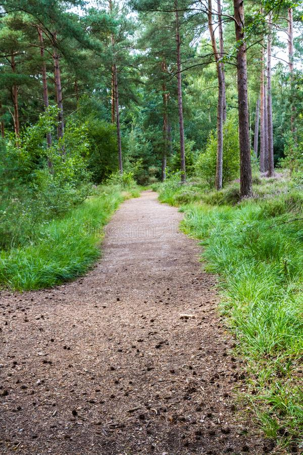 Path in UK woodland pine forest. United kingdom path in woodland with pine trees stock photography