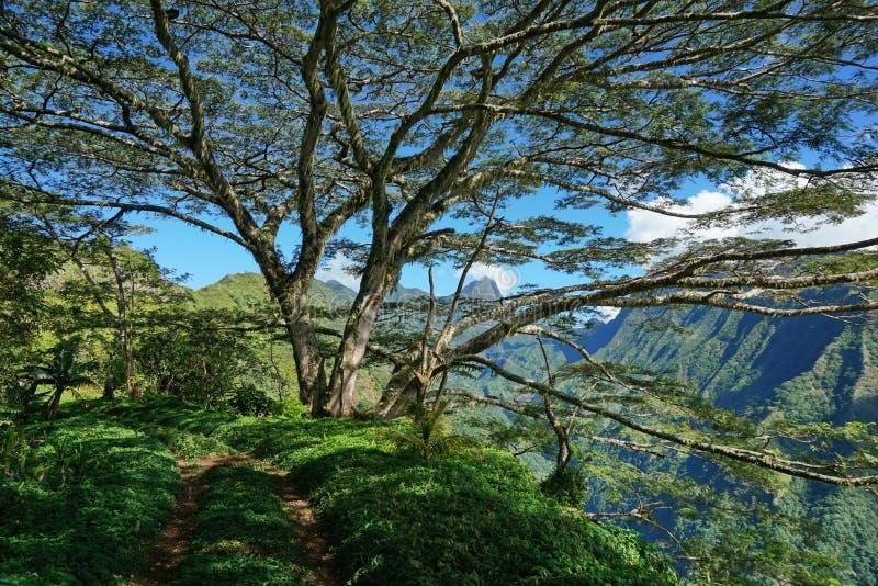 Path under a large tree Tahiti French Polynesia. Path under a large tree with mountains in background, Tahiti, French Polynesia, south Pacific islands royalty free stock image