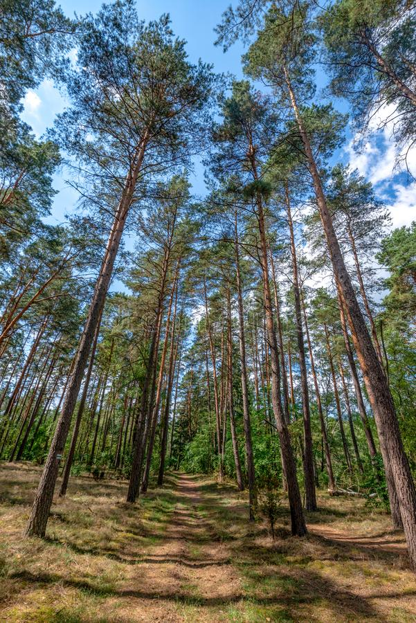 Path in the very old pine forest. Very old pine forest in Poland. Beautiful weather during a walk in Bory Tucholskie royalty free stock photos