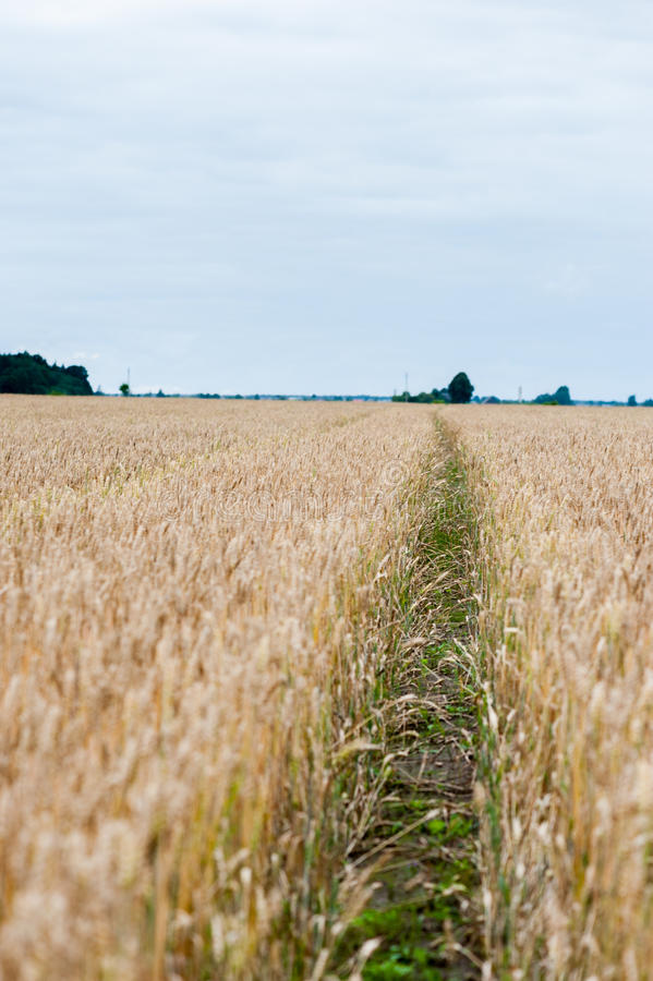 Path way in field of wheat. stock images