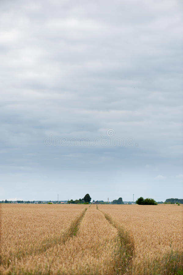Path Way in Field of Wheat. royalty free stock photos