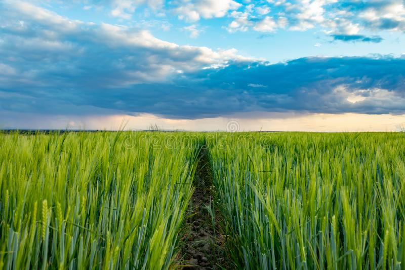 Path thru the wheat and the storm royalty free stock images