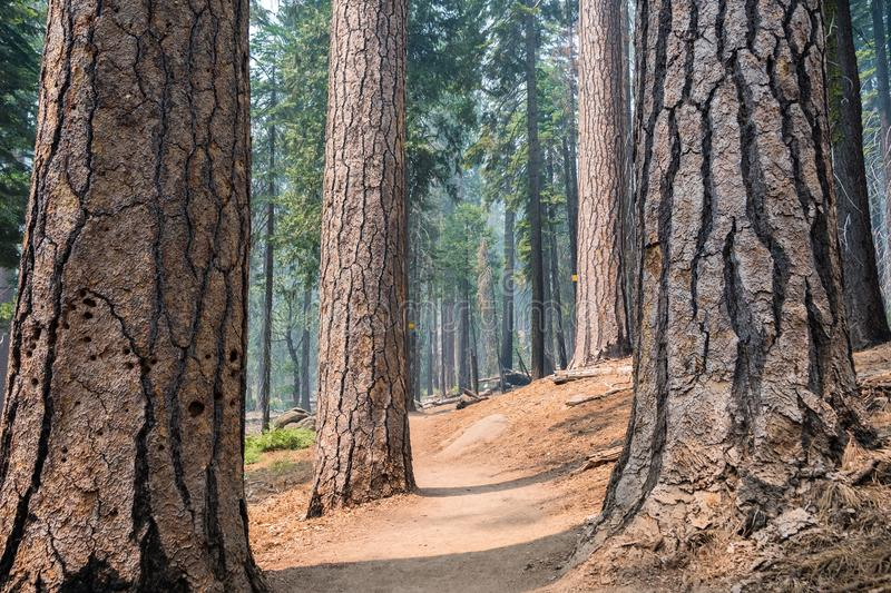Path winding through a pine forest royalty free stock image