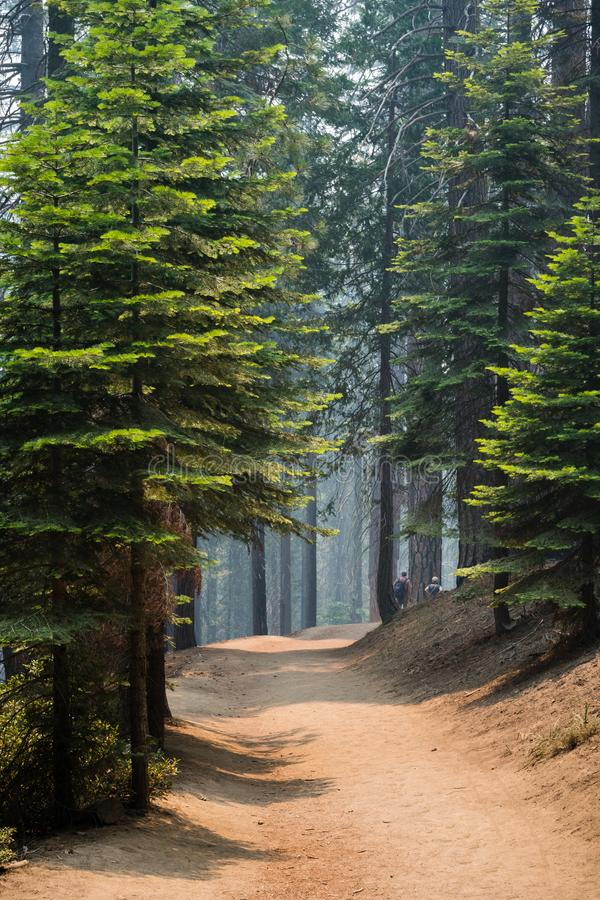 Path winding through a pine forest stock photos