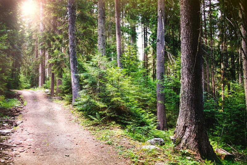 A path winding through a pine forest. Sun rays breaking through the trees. A path winding through a pine forest. Sun rays breaking through the trees stock photography