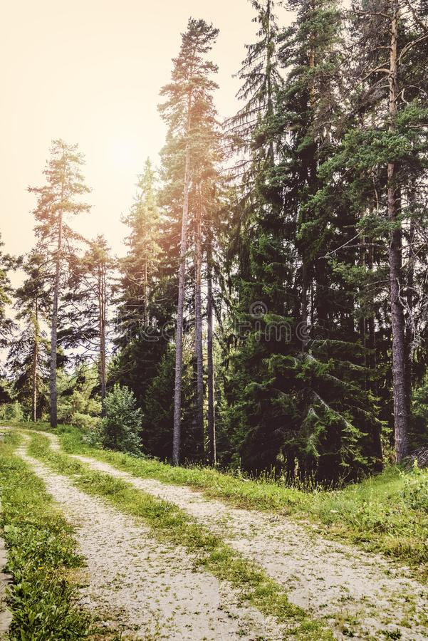A path winding through a pine forest under the sun rays. A path winding through a pine forest under the sun rays royalty free stock image