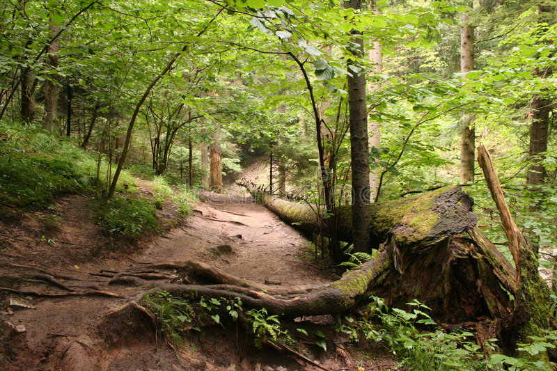Path in the wood. Path in the deep wood royalty free stock photos
