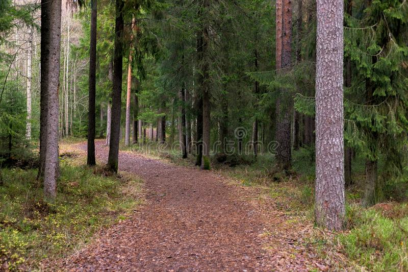 Path in Woods. With spruce and pine trees stock photography