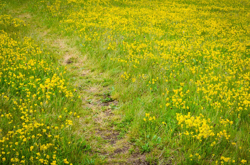 Path through the yellow field stock images
