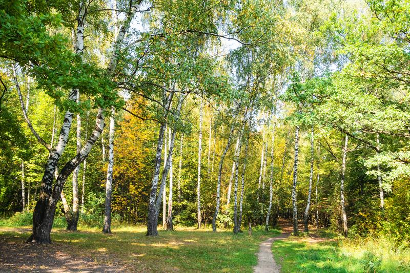 Path in yellowing birch grove in green city park. On sunny autumn day royalty free stock photo