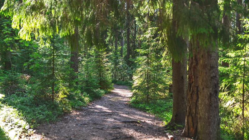 A path in a young pine forest on a bright Sunny day. Path in a young pine forest on a bright Sunny day, natural light stock photography