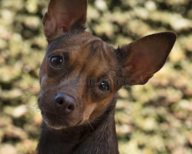 Pathetic little dog looking scared in the camera camera. stock images