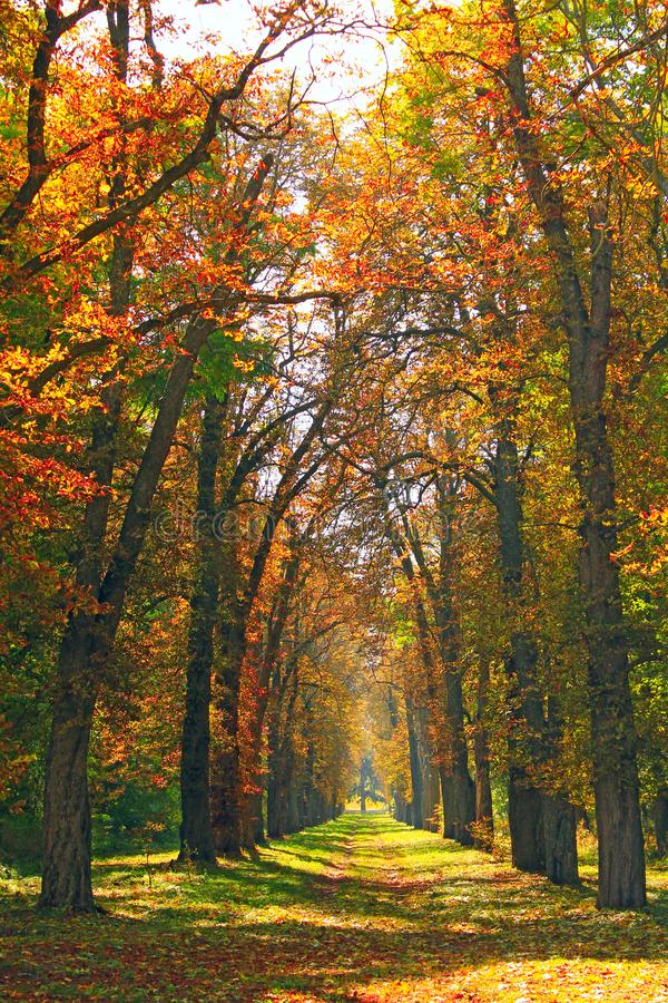 Beautiful alley in park with colorful trees standing in yellow foliage royalty free stock images
