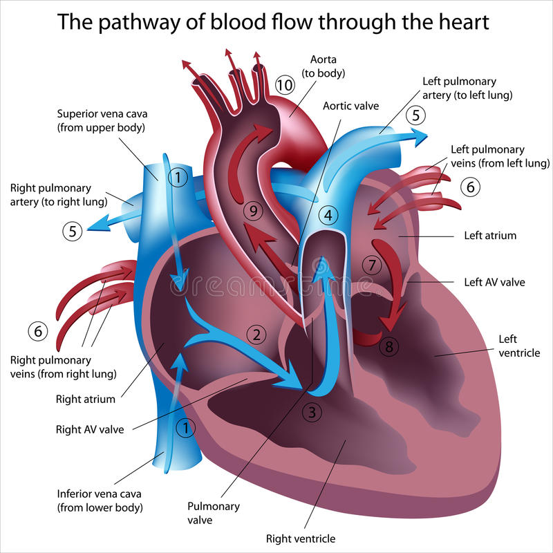 Pathway of blood flow through the heart. Heart cross section showing pathway of blood flow , eps8 vector illustration