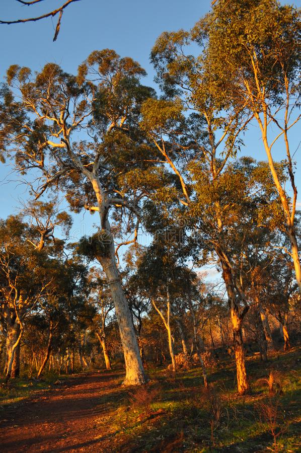 Pathway through Eucalyptus trees,  late evening light, golden hour. Beautiful landscape with red dirt track through eucalyptus trees, late evening sunlight stock photos