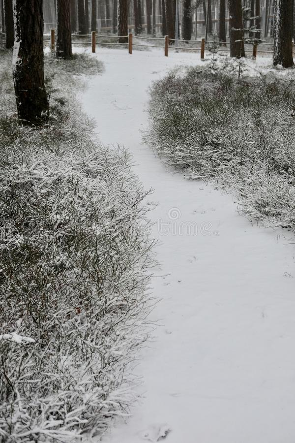 The pathway in a winter pine forest. stock photo