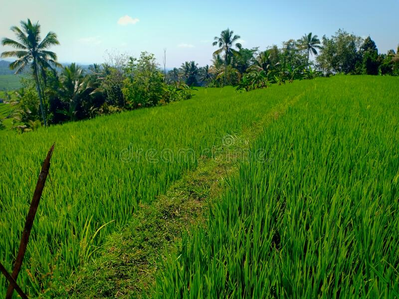 Rice field terraces in Jatiluwih village, Bali royalty free stock image