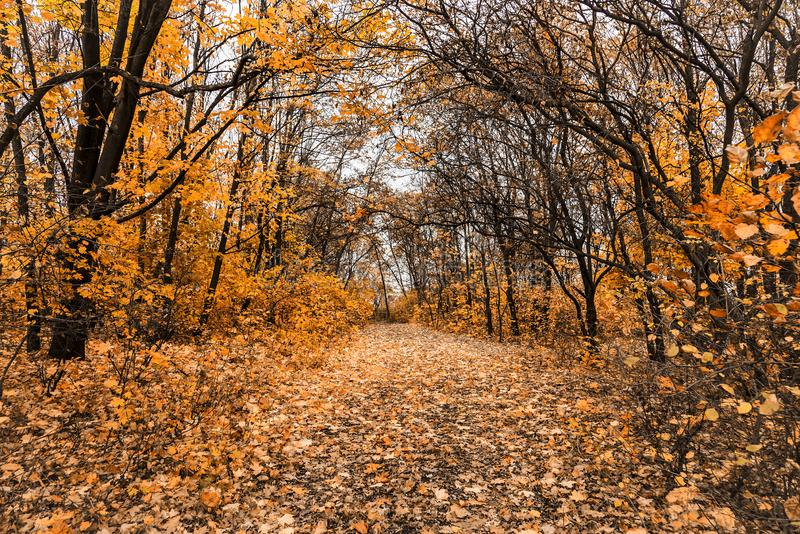 Pathway through the maple forest in autumn. Yellow golden leaves fall stock image