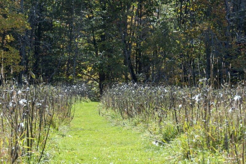 Pathway through the milkweed royalty free stock photos