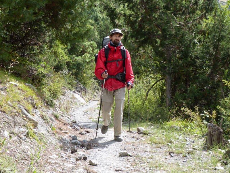 Pathway through pine forest. Annapurna Circuit trek in Nepal, near Pisang village royalty free stock images