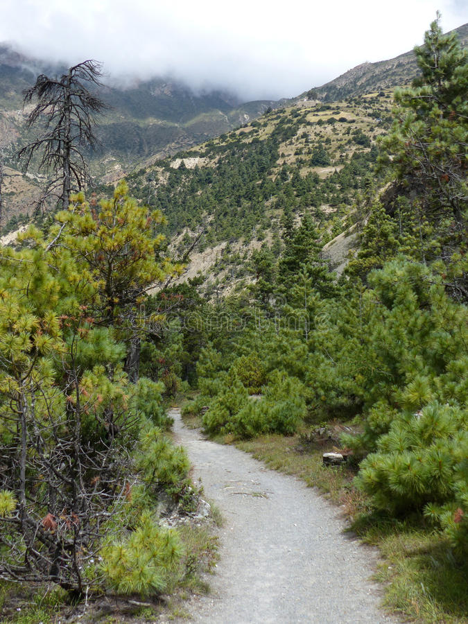 Pathway through pine forest royalty free stock photography