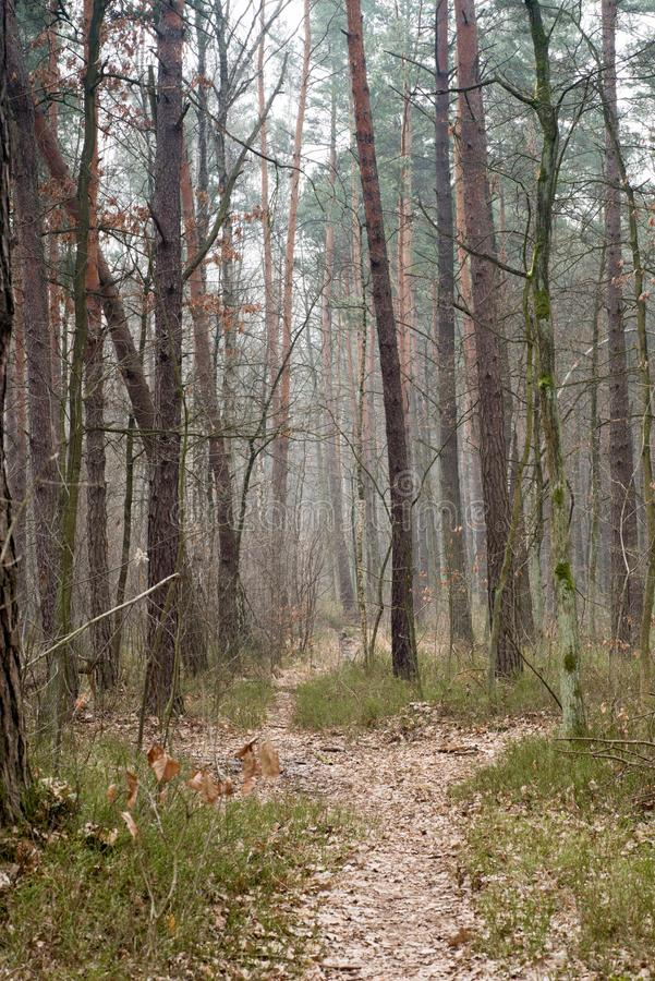 Pathway in pine forest royalty free stock photos