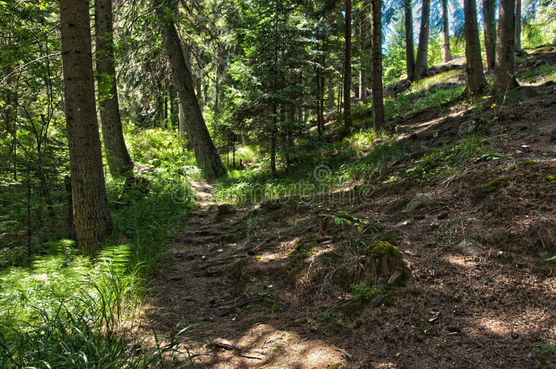 Pathway in the pine forest. royalty free stock photos
