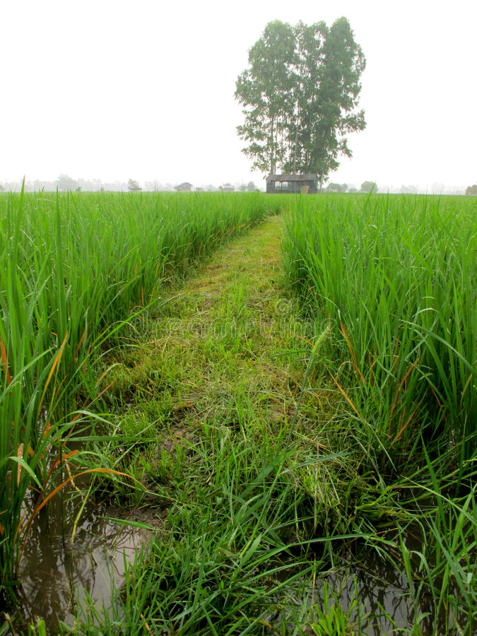 Download Pathway In The Rice Field Stock Image - Image: 21188231