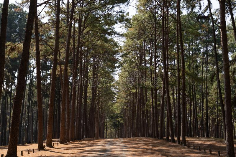 Pathway walk to pine forest stock image