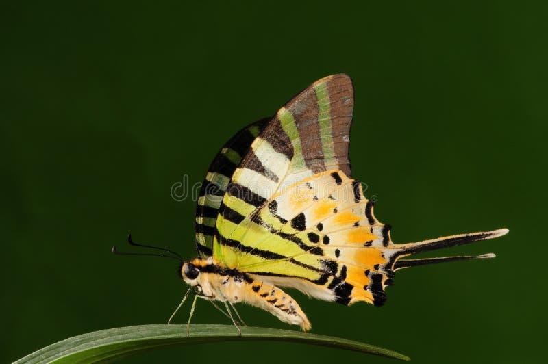Pathysa antiphates /butterfly 免版税图库摄影