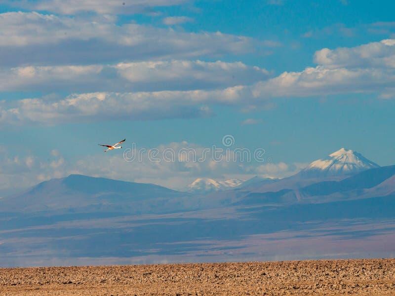 Patience-chilenisches Flamencofliegen über atacama Wüste stockfotografie