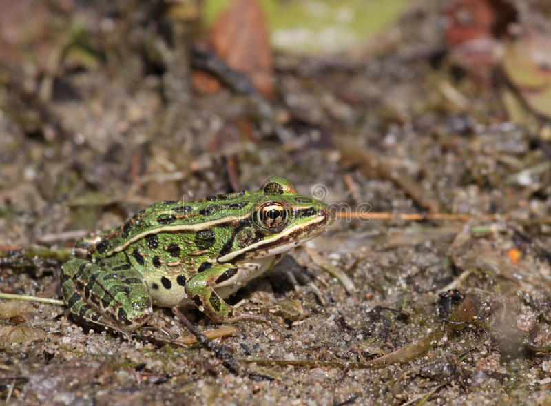 Patient Northern Leopard Frog. A Northern Leopard frogs (Lithobates pipiens) sitting at the edge of a lake. Shot in Muskoka, Ontario, Canada royalty free stock photography