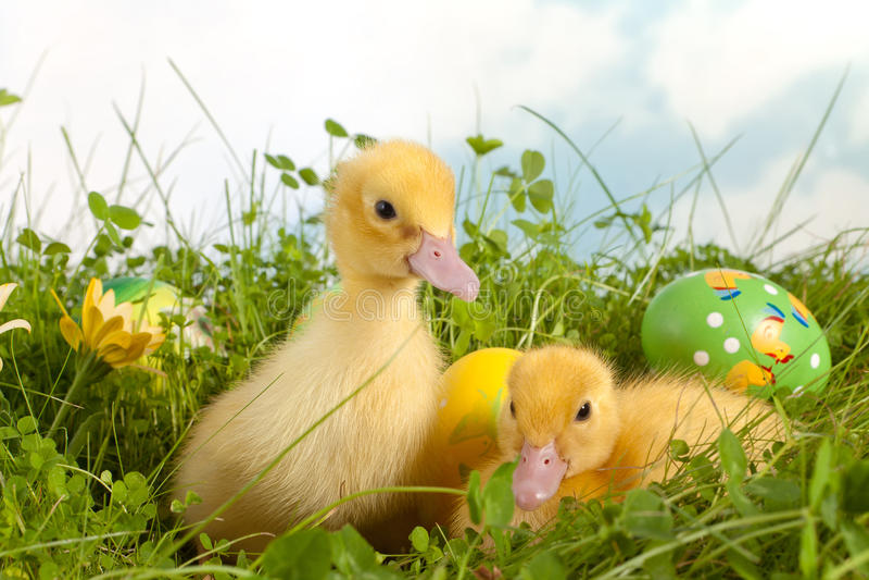 Patinhos de Easter na grama foto de stock royalty free