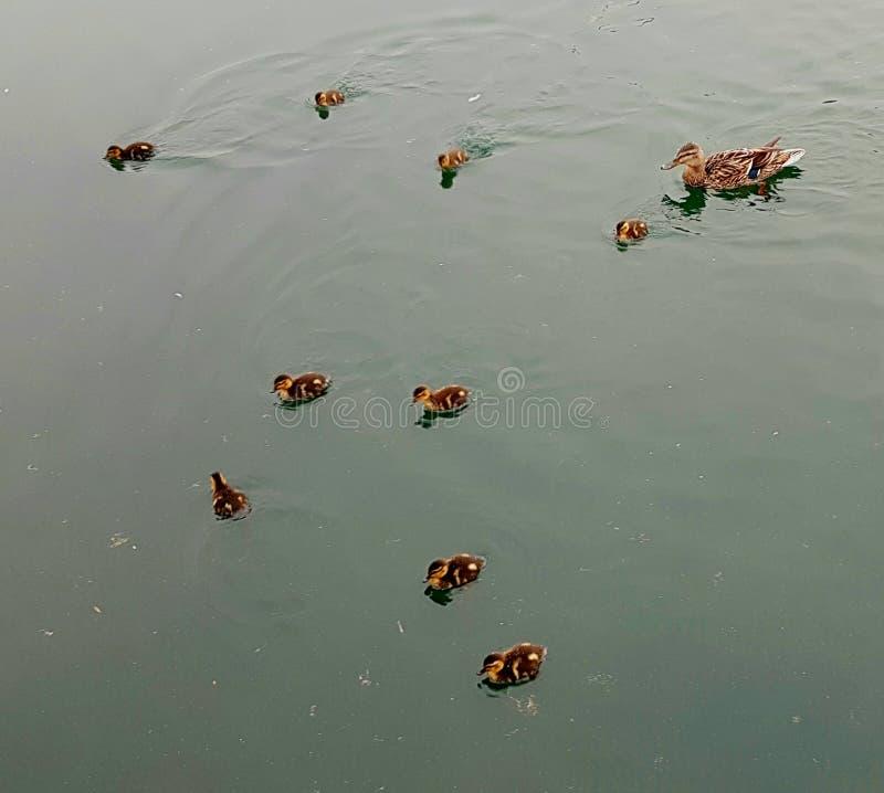 Patinhos e sua mãe na água fotos de stock