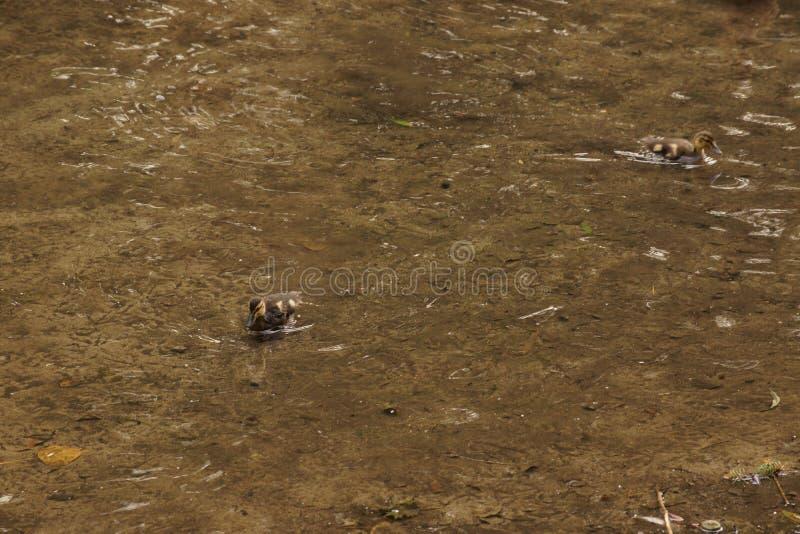 Patinhos que nadam junto - França foto de stock royalty free
