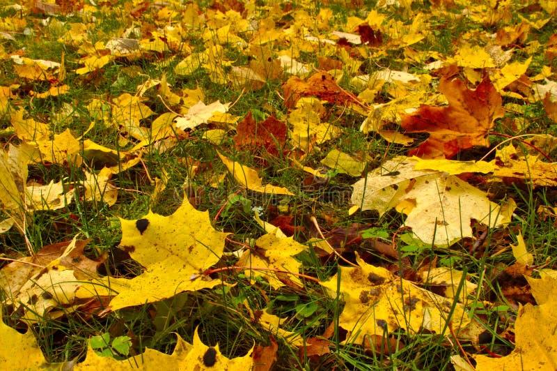 Patio trasero cubierto con las hojas de arce de oro imagenes de archivo