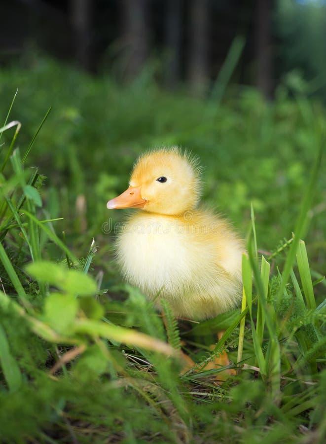 Pato amarelo doméstico do bebê fotografia de stock royalty free