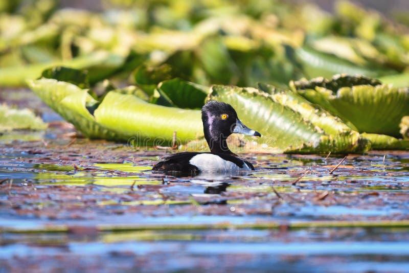 pato Anillo-necked en el lago colorido oregon fotografía de archivo libre de regalías