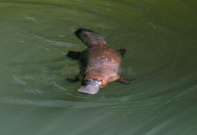 Pato australiano indescritível platypus faturado, queensland fotos de stock royalty free