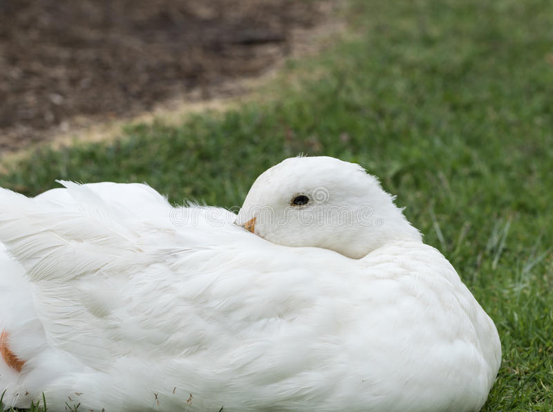 Pato blanco foto de archivo