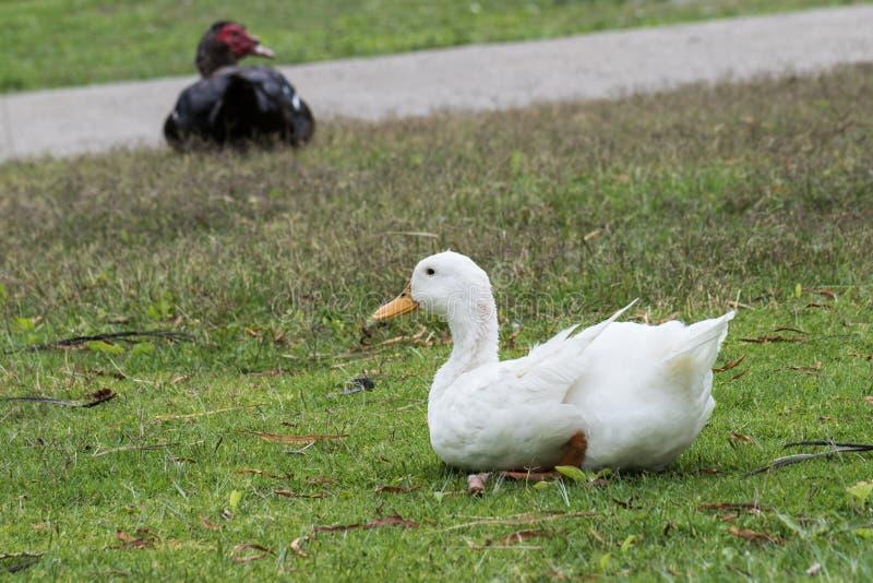 Pato blanco imagen de archivo