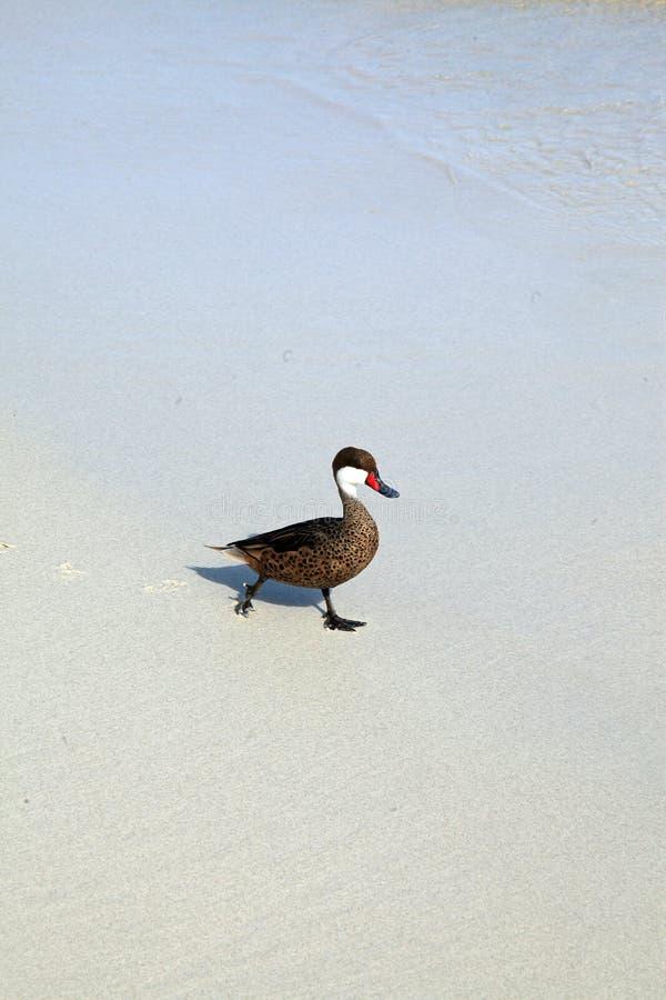 Pato blanco-cheeked del pato rojizo imagenes de archivo