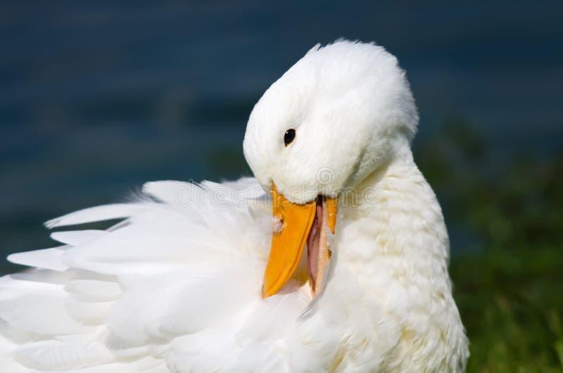 Pato blanco de Pekin fotografía de archivo