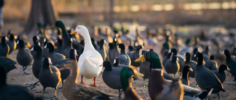 Pato blanco de Pekin en una muchedumbre de patos silvestres fotografía de archivo